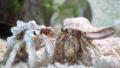 オカヤドカリの飼育